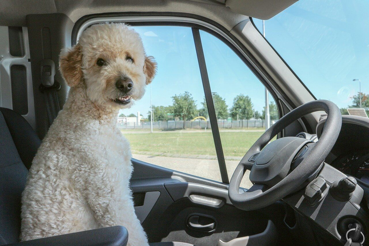 Dog at Steering WHeel of Car